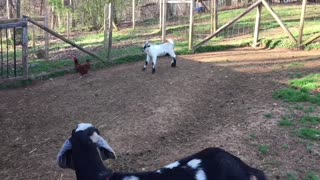 Baby goat desperately attempts to befriend chicken