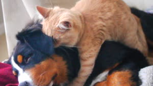 Cat demonstrates expertise as dog masseuse  - Video