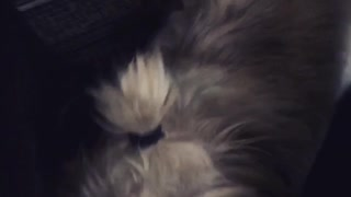 Girl Pup Doesn't Like Her Ponytail - Video
