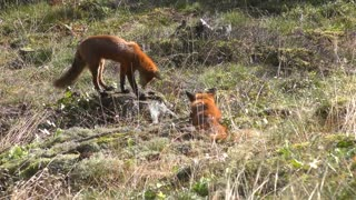 A couple of foxes in the valley playing