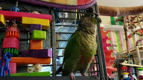 Green Cheek Conure Has The Best Dance Moves
