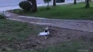 Pug Adorably Fetches The Newspaper For Owner