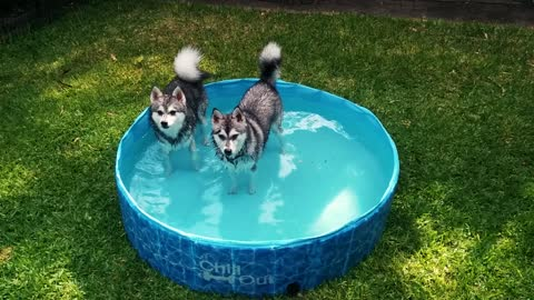 Two dogs hate to be wet in a pool