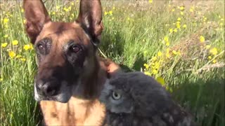 Unique friendship between tiny owl and giant dog
