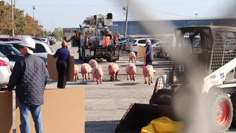 Pigs herded across parking lot after truck crash