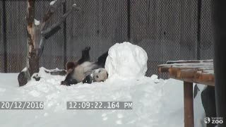 Clumsy Giant Panda Adorably Wrestles Down A Snowman - Video