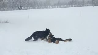 Puppy body slams brother in the snow  - Video