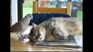 Dove bothering the cat - Video