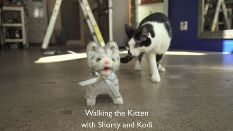 Cats takes mechanical toy kitten for walk