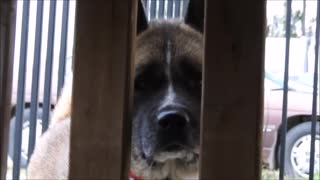 Sad whining dog sticks tongue out and walks away!  - Video
