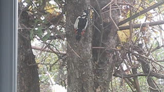А woodpecker flew in for lunch - Video