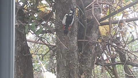 А woodpecker flew in for lunch