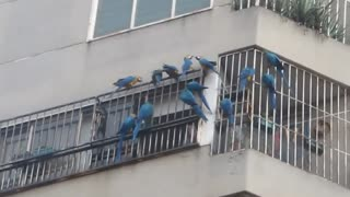 The Neighborhood Macaws - Video