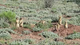 Baby Prairie Dogs - Wrestling..! - Video