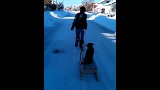 Dog enjoys sleigh ride - Video