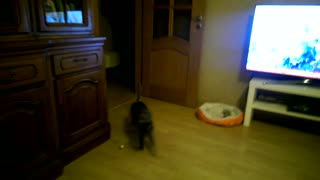 Cat plays fetch like a pro! - Video