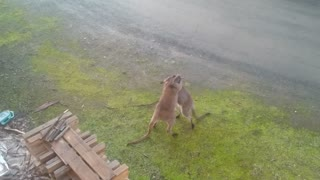 Male Wallabies Fighting In Backyard - Video