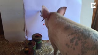 Pig Saved From Meat Industry Becomes An Artist - Video