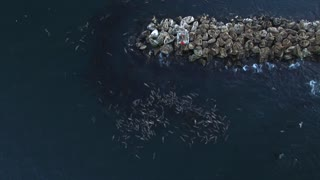 Sea Lions Floating with Full Tummies - Video