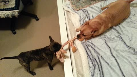 Puppy drags dog across rug