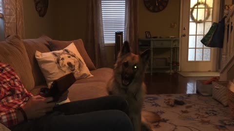 Adorable Shepherd copies husky howl