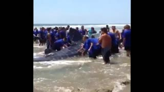 More than 100 volunteers try to save beached whale shark