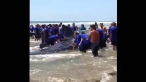 More than 100 volunteers try to save beached whale shark - Video