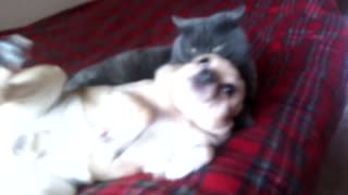 The dog has lain down to a cat  - Video