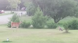 Excited puppy tries to play with wild deer herd