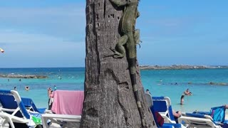 Wild Iguana Climbing A Palm Tree In Bahamas - Video