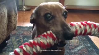 dachshund love 01 - Video