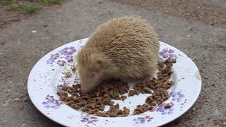 Rare albino hedgehog enjoys a tasty snack - Video