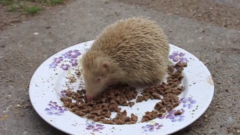 Rare albino hedgehog enjoys a tasty snack