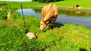 Mother cow calls on a complete stranger to rescue her calf