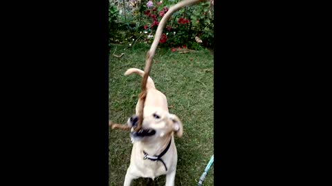 Dog playing with rope slow motion