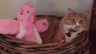 Cat unimpressed with new singing toy - Video