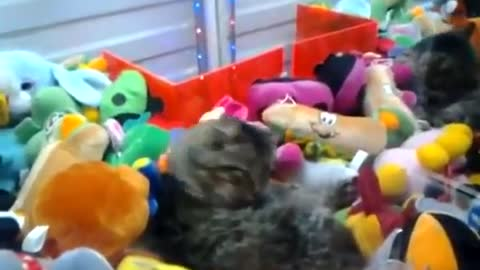 Cat with plush toys