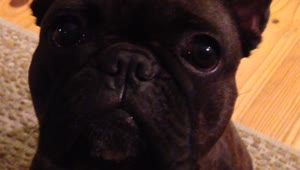 French Bulldog argues for attention - Video