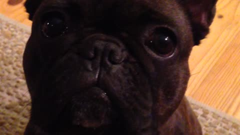 French Bulldog argues for attention