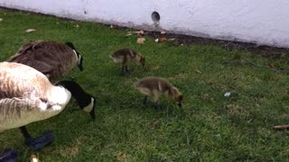 Baby geese enjoy feeding time under watchful eyes - Video