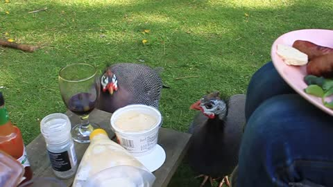 BBQ With Pet Guinea Fowl