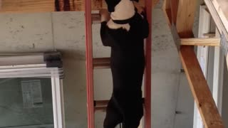 Brave Dog Climbs A Ladder! - Video