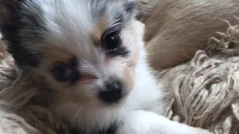 Tiny fearless puppy plays with doggy best friend