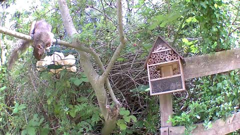 Cute squirrel at the birdfeeder at Our Wildlife Oasis - 17th July 2020