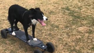 Border Collie Goes For A Ride On A Motorized Skateboard