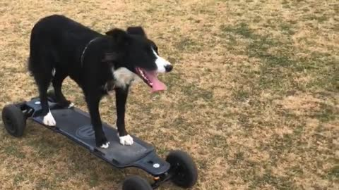 Border Collie goes for ride on motorized skateboard