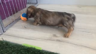 Mini dachshund pup plays with ball for the first time