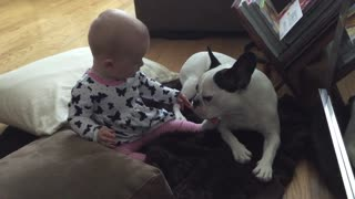 Adorable baby meets patient Bulldog - Video