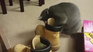 Cat fails at getting ball out of shoe  - Video