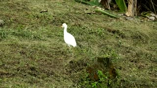 White Bird Tracing Worms In Field